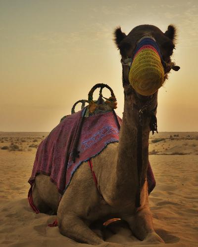 Camel Dubai United Arab Emirates