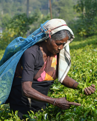 Tea picker Sri Lanka