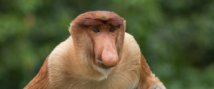 Proboscic Monkey, Sabah, Borneo, Malaysia