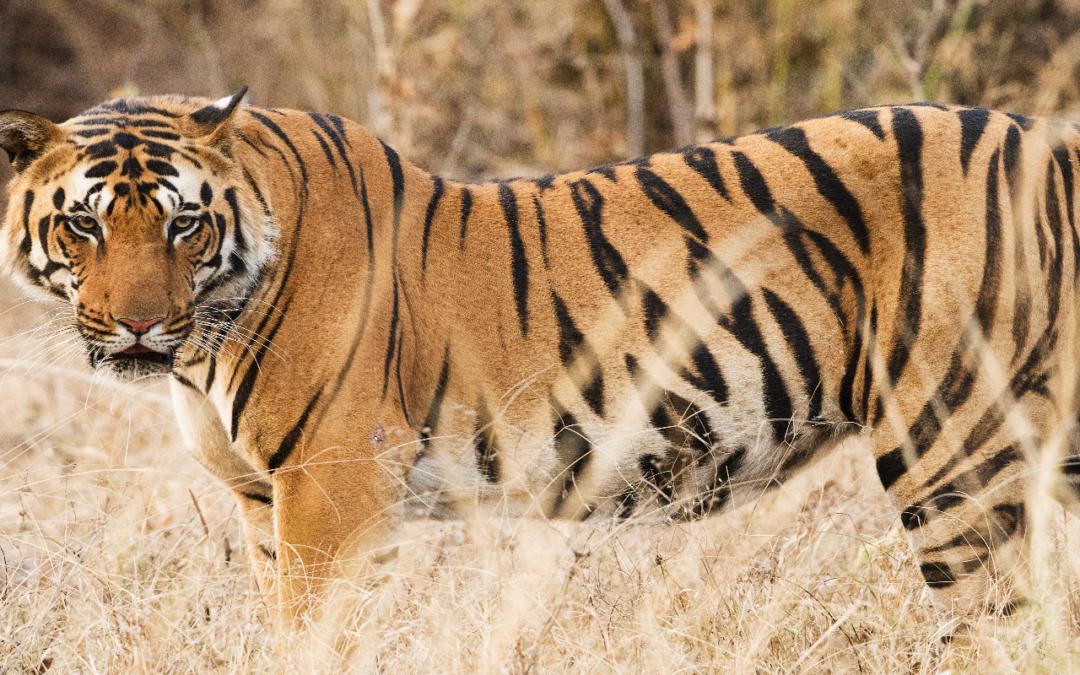 India's Real Life Jungle Book