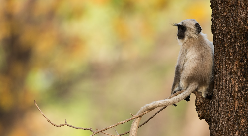India National Parks - monkey