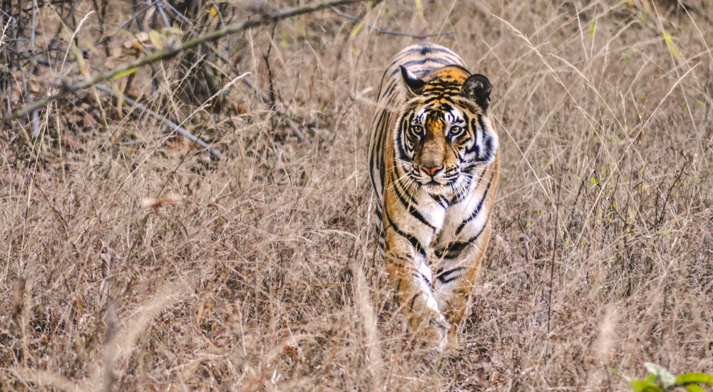 India National Parks - tiger