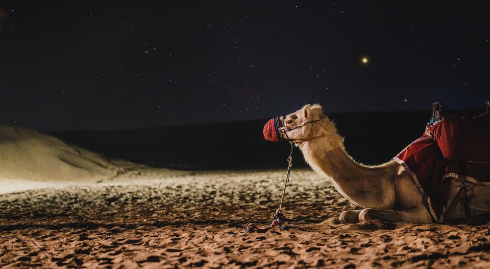Camel desert dubai UAE