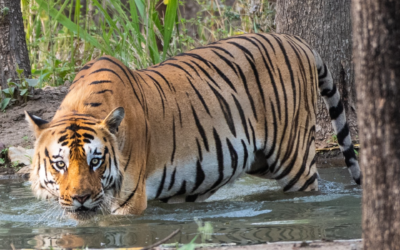 Exploring Bardia – Tigers in the Wild