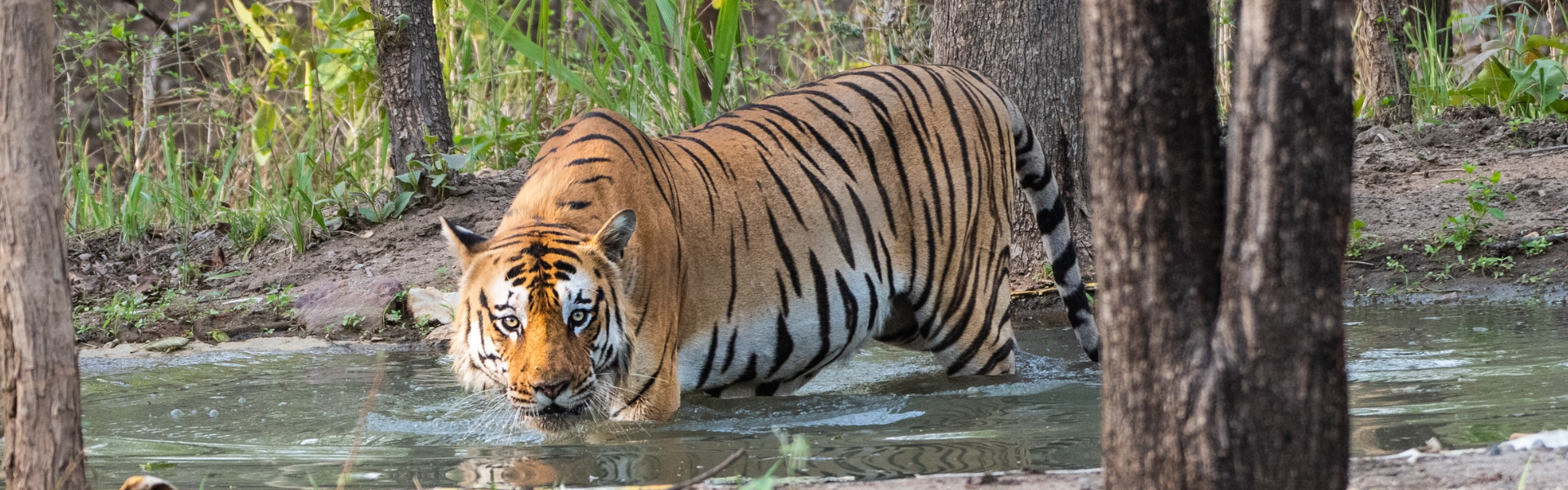 Tiger, Nepal