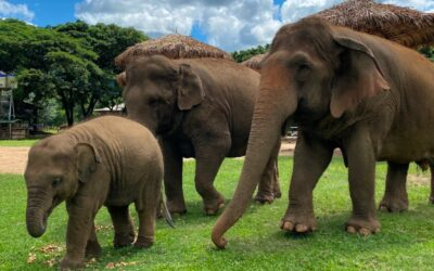 137 Pillars Hotels & Resorts Partners with the Elephant Nature Park Chiang Mai